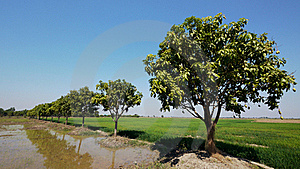 Mango Trees In Cambodia Royalty Free Stock Photography - Image: 18118237