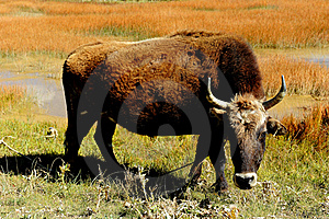 Cow In Pasture Royalty Free Stock Photo - Image: 18119135