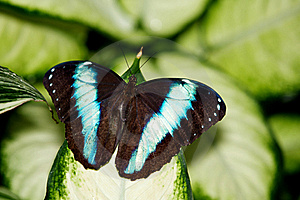 Achilles Morpho Butterfly Royalty Free Stock Images - Image: 18120519