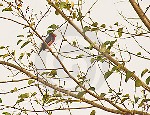 An Bearded Barbet In The Gambia Royalty Free Stock Image - Image: 18124366