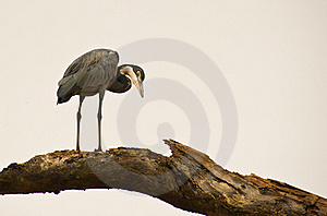 A Black-headed Heron On A Log Royalty Free Stock Photos - Image: 18124408