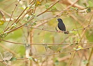 A Village Indigobird Royalty Free Stock Photography - Image: 18124877