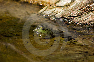 Tadpoles And Bullfrog Royalty Free Stock Image - Image: 18126076