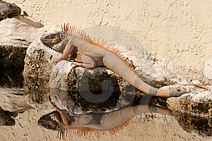 Iguana Royalty Free Stock Photos - Image: 18126458