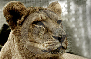 Lion Resting Stock Photography - Image: 18131302