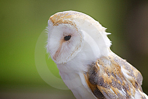 A Portrait Of A Barn Owl Stock Photography - Image: 18132502
