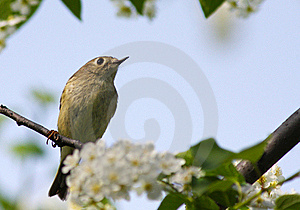 Ruby-crowned Kinglet Royalty Free Stock Photos - Image: 18135448