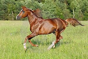 Chestnut Horse Runs Gallop Stock Photography - Image: 18141952