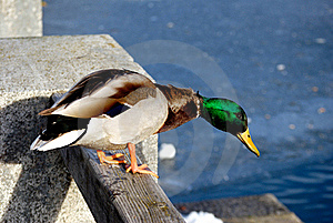 Duck In Winter Royalty Free Stock Photography - Image: 18160147