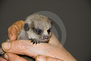 Baby Meerkat (Suricata Suricatta) Royalty Free Stock Photography - Image: 18160387