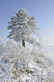 Frost Pine And Bush Stock Images - Image: 18161034