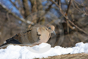 Mourning Dove Stock Image - Image: 18162521