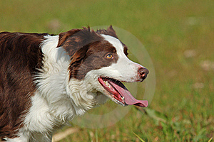 Red Border Collie Dog Stock Photos - Image: 18167093