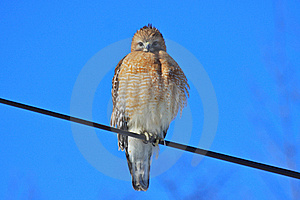Red-shouldered Hawk Stare Stock Images - Image: 18175734