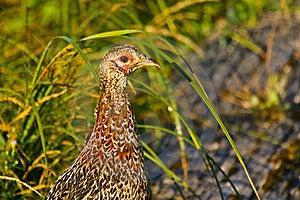 Ring-necked Pheasant Female Stock Photo - Image: 18184300