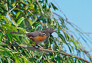 Spotted Towhee Stock Photo - Image: 18184420