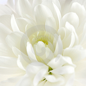 Chrysanthemum Stock Photo - Image: 18186580