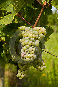 Beautiful Grapes In The Vineyard Stock Photo - Image: 18188670