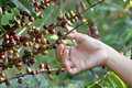 Coffee beans on a coffee tree Royalty Free Stock Images