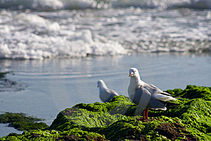 Australian Seagull At Rocky Shoreline Stock Images - Image: 18193804