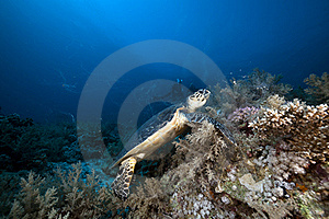 Hawksbill Turtle In The Red Sea. Royalty Free Stock Images - Image: 18195109