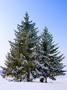 Fir Trees Stock Image - Image: 18201251
