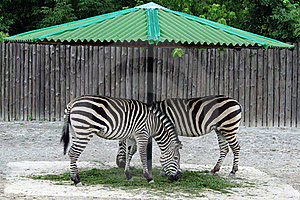 Two Zebras Royalty Free Stock Images - Image: 18202739