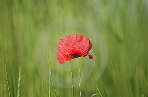 Tulip Royalty Free Stock Photography - Image: 18203967