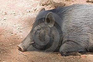 Sleeping Pig Stock Photography - Image: 18214572