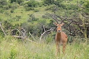 Male Impala Posing For The Camera Stock Images - Image: 18218334