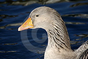 Goose In Winter Royalty Free Stock Photo - Image: 18222335