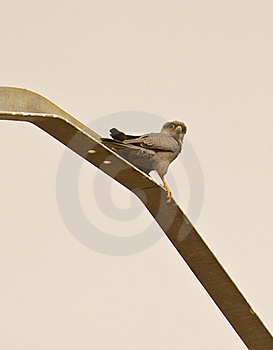 A Grey Kestrel On A Metal Pole Royalty Free Stock Photo - Image: 18222465