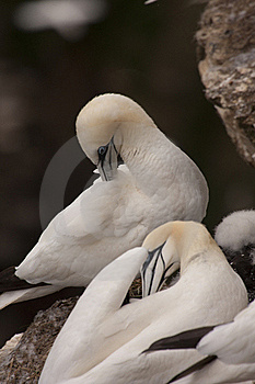 Gannet At Troup Head Royalty Free Stock Image - Image: 18227576