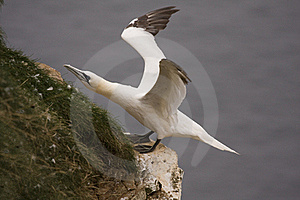 Gannet At Troup Head Stock Image - Image: 18227591