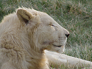 White Lioness Stock Photos - Image: 18227673