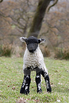 Spring Lamb Stock Images - Image: 18227674