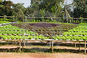 Planta Hidropónica Da Alface Imagem de Stock Royalty Free - Imagem: 18228486