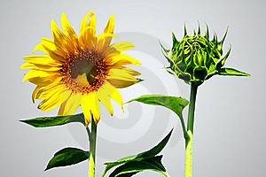 Sunflower And Bud Sun Flower Royalty Free Stock Photo - Image: 18231175