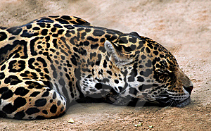 Jaguar Stock Photo - Image: 18241510
