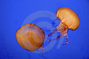 Sea Nettle Royalty Free Stock Photography - Image: 18242887