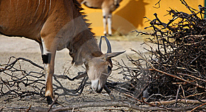 Antelope Royalty Free Stock Photography - Image: 18243427