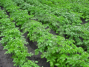 Potatoes Plantation Stock Photo - Image: 18250190