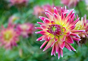 Blooming Dahlia Stock Image - Image: 18251211