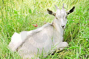 Young White Goat Stock Image - Image: 18263191