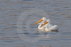 American White Pelicans Stock Image - Image: 18263461