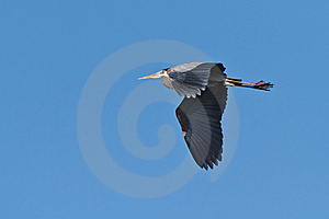 Great Blue Heron In Flight Royalty Free Stock Images - Image: 18263489