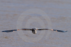Great Blue Heron In Flight Stock Photos - Image: 18263493