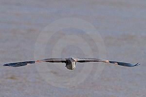 Great Blue Heron In Flight Stock Photos - Image: 18263493
