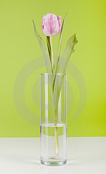 Pink Tulip Stock Photos - Image: 18268363