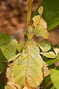 Leaf Insect Royalty Free Stock Images - Image: 18274039